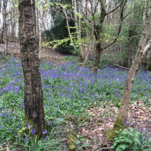 Blue Bell Wood in Spring