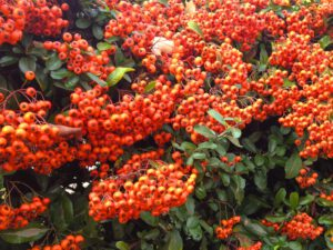 Bright Autumn Red Berries