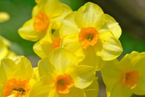 Small daffodills, spring for Acupuncture treatment and renewal
